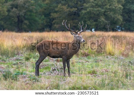 Red deer stag in the autumn Richmond park, London, UK  - stock photo