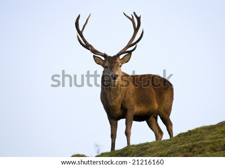 Red deer stag in the Scottish Highlands. - stock photo