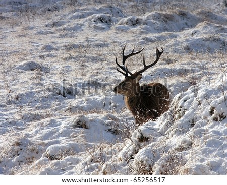 Red Deer Stag in the winter sunshine. - stock photo