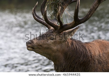 Red deer stag mating season