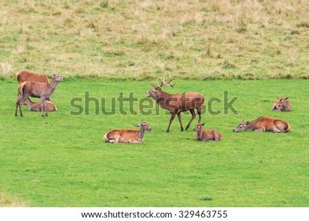 Red Deer Stag standing and guarding his six Hind Deer during the Rutting season in Perthshire Scotland  - stock photo