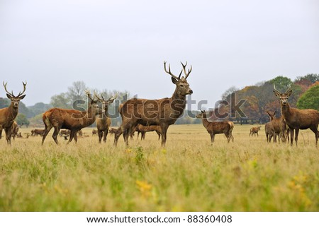 Red deer stags and does herd in Autumn Fall meadow scene
