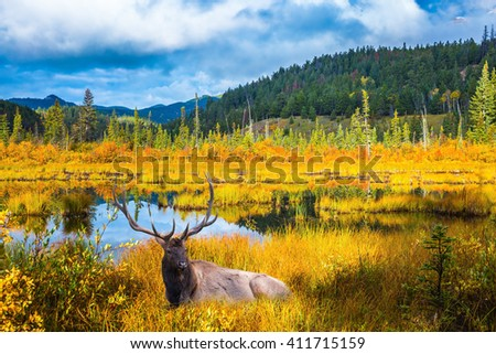 Red deer with branched antlers resting in grass by the lake. Warm autumn day in Jasper Park, Canadian Rockies