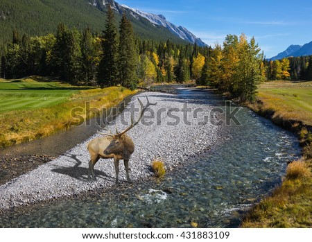 Red deer with branched antlers standing on a rocky shoal creek. Autumn day in the Canadian Rockies