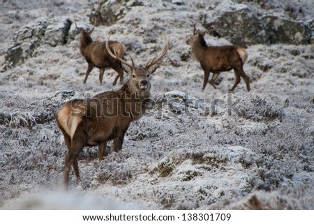 Red deers in light snow, Scotland 2013 - stock photo