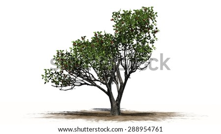 red delicious apple tree - separated on white background
