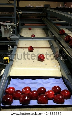 Red Delicious Apples on packing tray line - stock photo