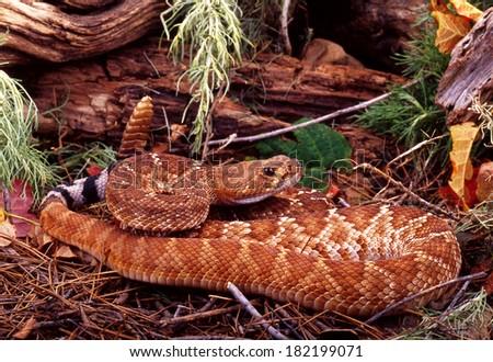 Red Diamond Rattlesnake. - stock photo