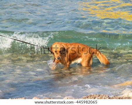 Red dog bathing in illuminated by the sun transparent coastal waves.