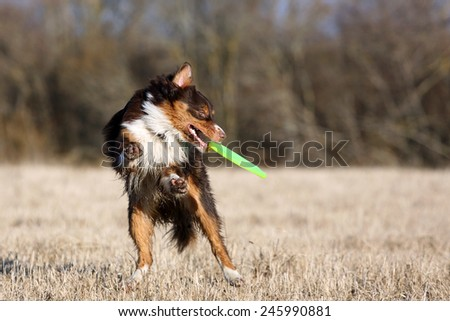 red dog catching disc in jump - stock photo