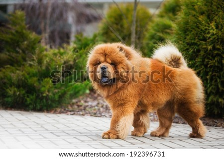 red dog chow chow - stock photo