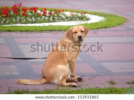 red dog in blue collar sitting in the park - stock photo