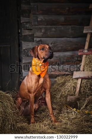 Red dog in the hayloft Rhodesian Ridgeback - stock photo