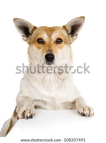 Red dog.  isolated on white background - stock photo