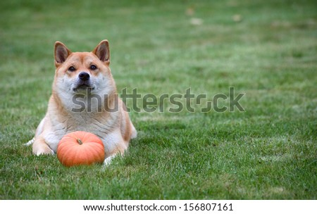 red dog lying with pumpkin on grass.  Halloween   thanksgiving photo with copy space. - stock photo