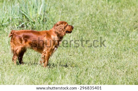 red dog on the nature - stock photo