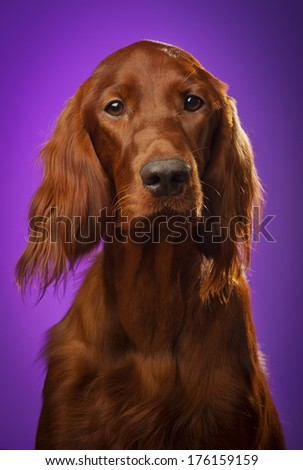red dog portrait on purple background, in studio, vertical - stock photo