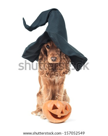 red dog sitting in a witches hat and looks impressive - stock photo