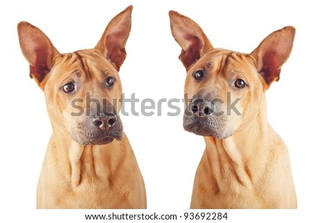 Red dog: two photos isolated over white background. - stock photo