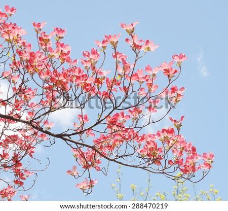 Red dogwood blossom - stock photo