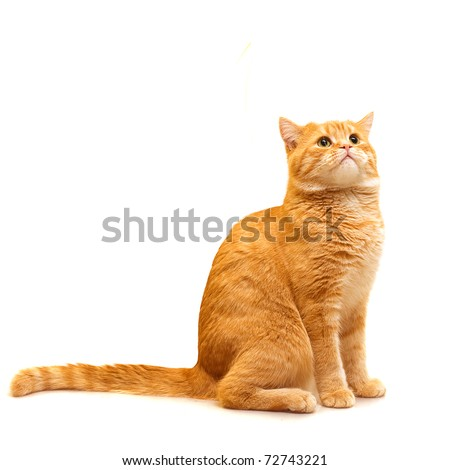 Red domestic cat looking up - isolated on white background - stock photo