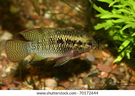 Red dots cichlid (Laetacara dorsigera) - Male