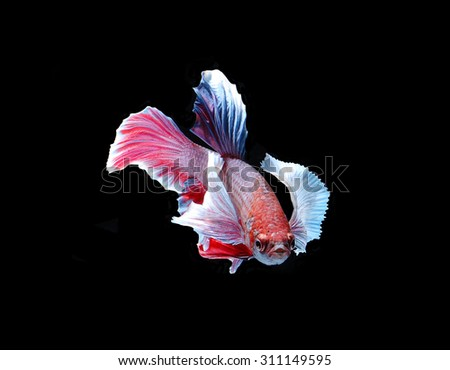 Red doubletail siamese fighting fish, betta fish isolated on black background.