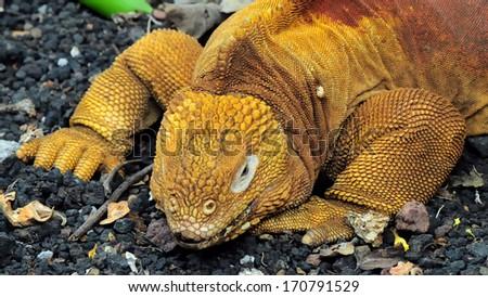Red Dragon. Land iguana. Conolophus subcristatus - endemic to the Galapagos islands, Ecuador - stock photo