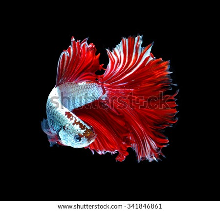 Red dragon siamese fighting fish, betta fish isolated on black background. - stock photo