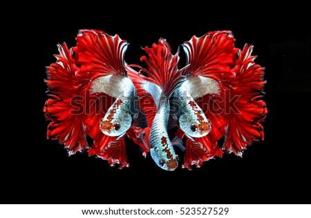 Red dragon siamese fighting fish, betta fish isolated on black background.3 Red dragon siamese fighting fish.