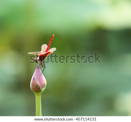 Red dragonfly rest on lotus bud