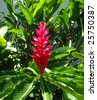 red dwarf - alpinia purpurata - stock photo