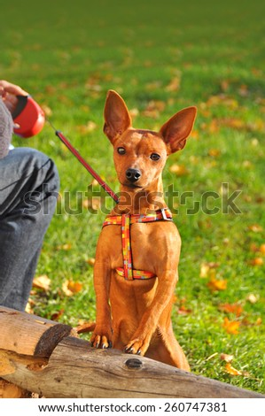 Red Dwarf Pinscher small dog on a leash - stock photo