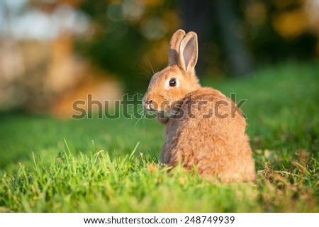 Red dwarf rabbit looking back - stock photo