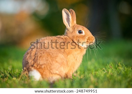 Red dwarf rabbit sitting in the grass - stock photo