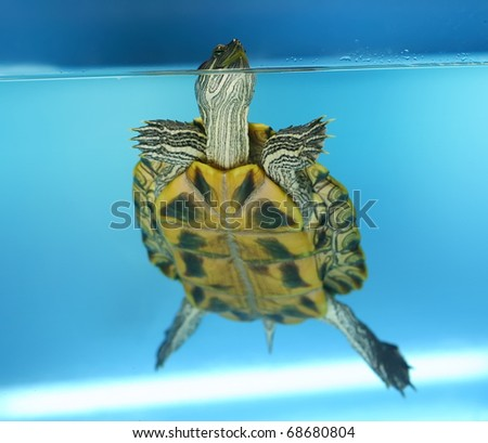 red ear tortoise - stock photo