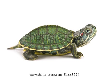 red ear tortoise isolated on white - stock photo