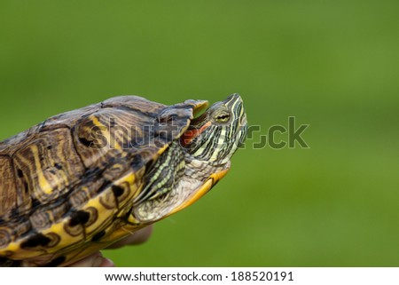 Red ear turtle isolated on green background  - stock photo