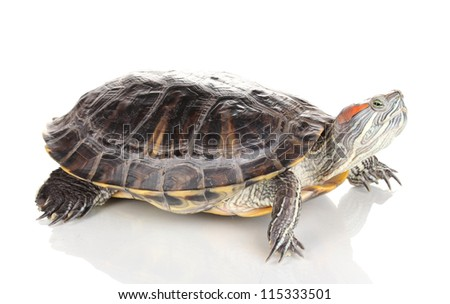 red ear turtle isolated on white - stock photo