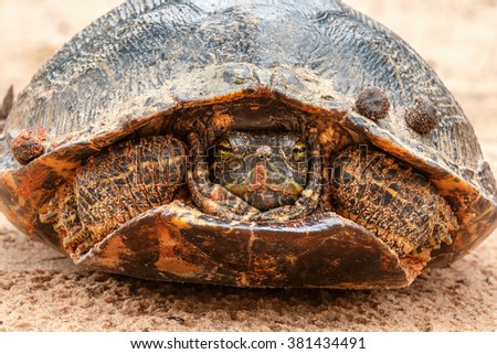 Red-eared Slider close up.