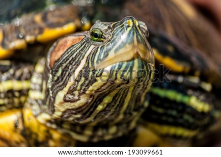 Red eared slider enjoy the sunshine close up portrait on white background