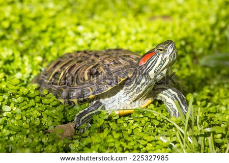 Red eared slider - Trachemys scripta elegans, Turtle head portrait in nature enviroment - stock photo