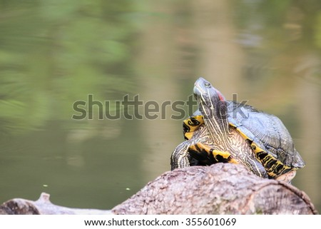 Red-eared slider, Turtle