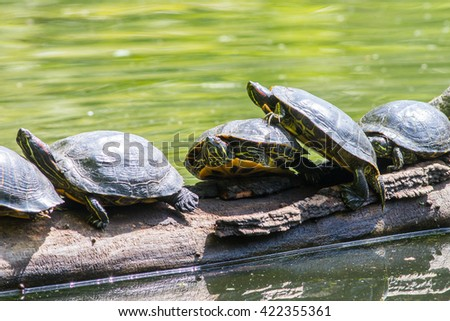 Red-eared Sliders basking on log in sunshine
