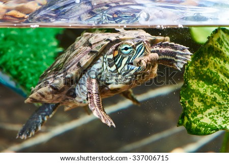 Red-eared turtle have dry feed in an aquarium - stock photo