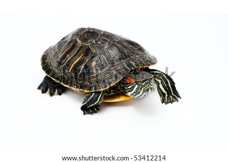 Red Eared Turtle isolated on white background - stock photo