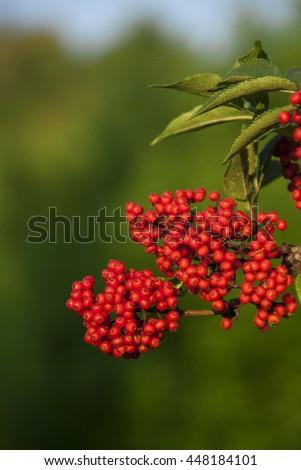 Red elderberry - stock photo
