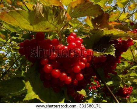 Red elderberry (Sambucus racemosa) on the bush - stock photo