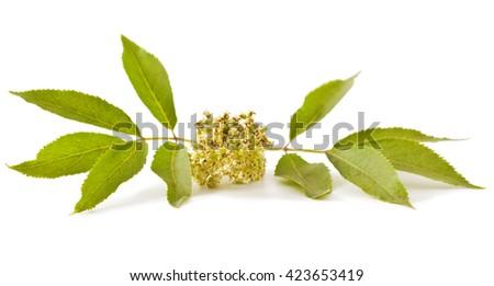 Red elderberry (Sambucus racemosa) on white background - stock photo