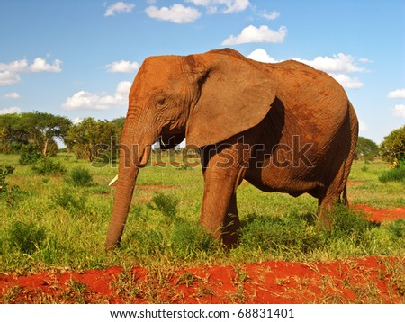 red elephant from africa - stock photo